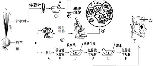 洋葱是中学生物实验常用材料之一,下图是与洋葱有关的