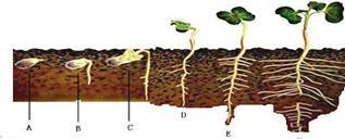 菜豆种子萌发形成幼苗的过程的正确顺序是( )①胚轴伸长,子叶出土②胚
