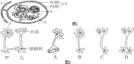 (4)一同学将图2乙伞藻的细胞核与伞部去掉,并将甲伞藻的细胞核移