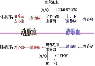 (2)据图可见:血液循环的起点是心室,终点是心房.图片