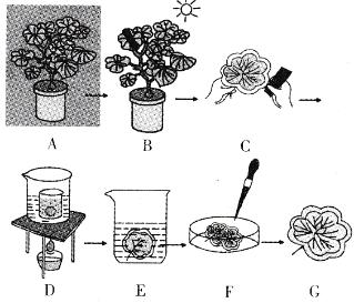 植物气孔开闭的原理_植物气孔图片