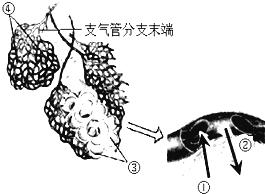 制作人口腔上皮细胞临时装片_小聪同学使用显微镜 配有两个物镜10 .40 和两个